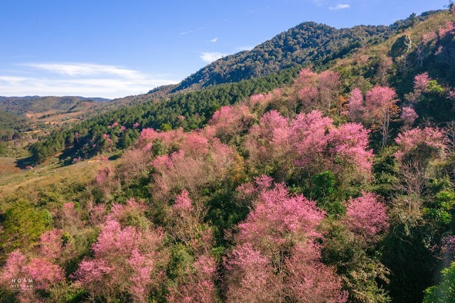 Địa điểm săn hoa Mai Anh Đào – Loài hoa của mùa Xuân Đà Lạt