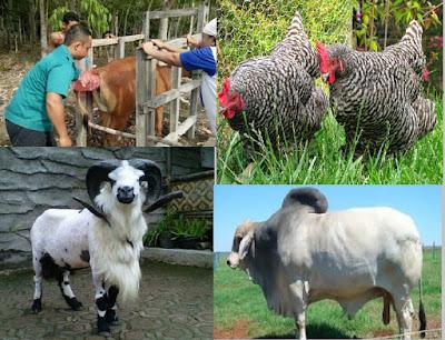 pemuliaah hewan