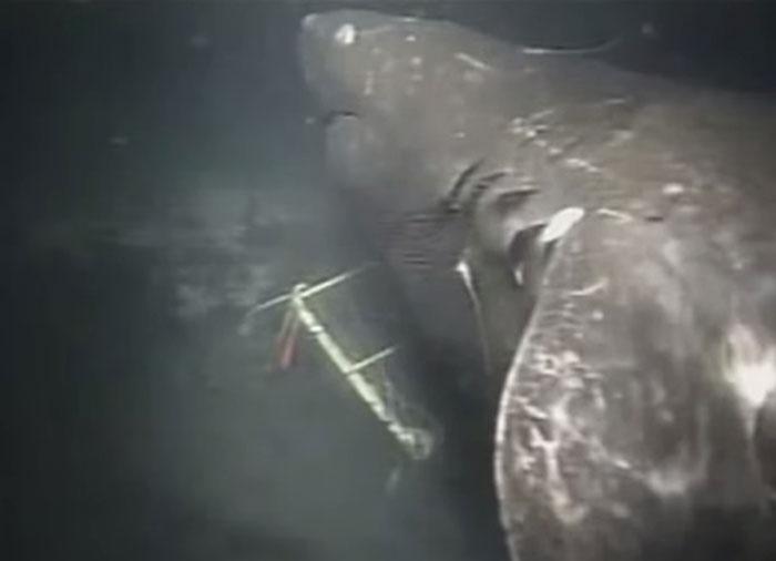 Megalodon Diduga Masih Hidup Sampai Sekarang