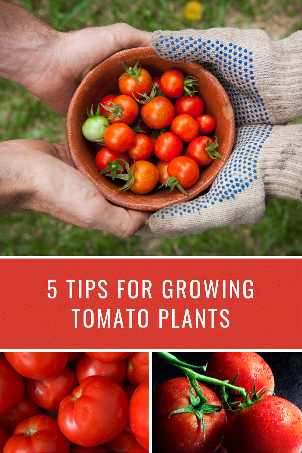 TIPS FOR GROWING TOMATO PLANTS