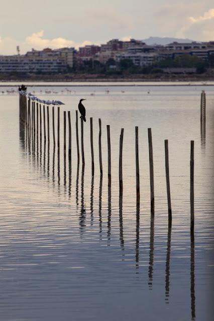 Cormorano al Parco naturale Molentargius-Saline a Cagliari