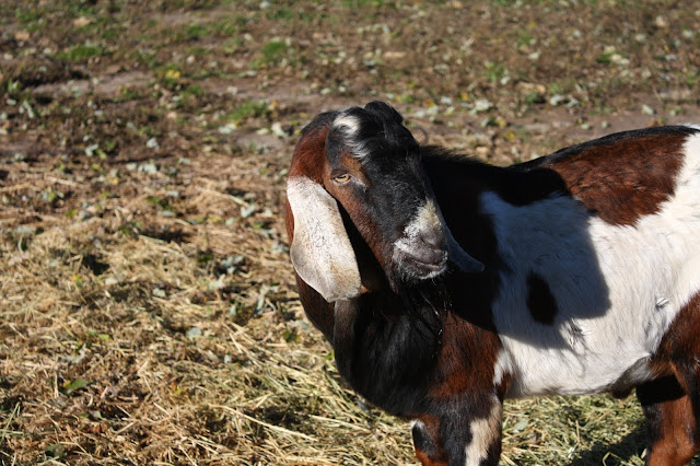 Enjoying visiting the goats at Double B Farm Country Store & Cafe in Beloit, Wisconsin