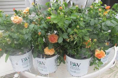 4-1 gallon roses
