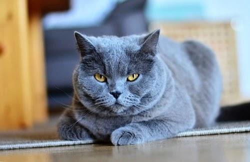 قط شارتروه قط فرنسا الأزرق