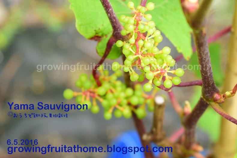 ブドウの種類・品種の特徴一覧表...