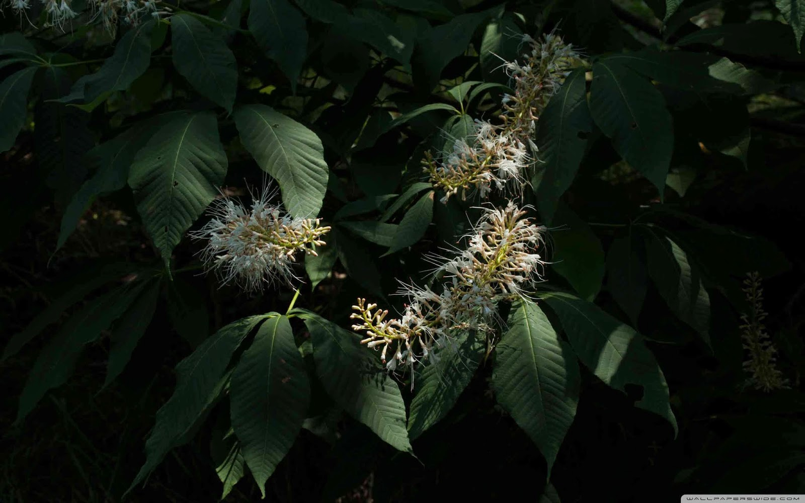 bottlebrush buckeye aesculus parviflora  wallpaper