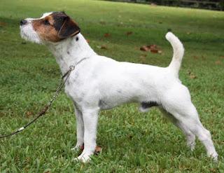 raza de perro jack russell