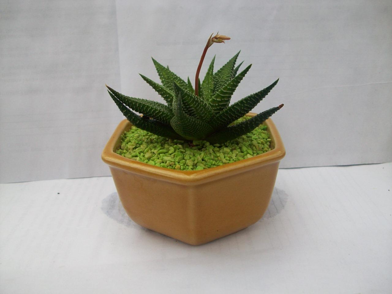 Jenis Jenis Kaktus Dan Sukulen