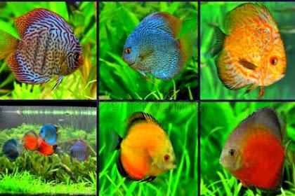 Jenis Ikan Discus Termahal dan Paling Populer