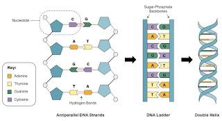 Penggambaran struktur DNA