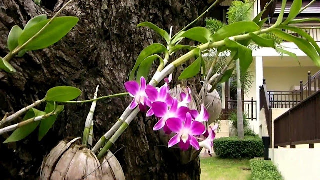 Bunga Anggrek Ungu/Bulan