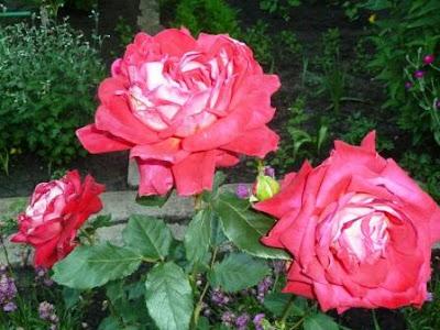 красно малиновый Бургунд роза