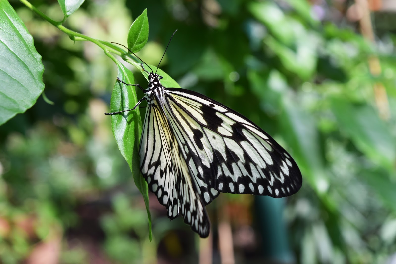 a black and white butterfly hanging onto a leaf