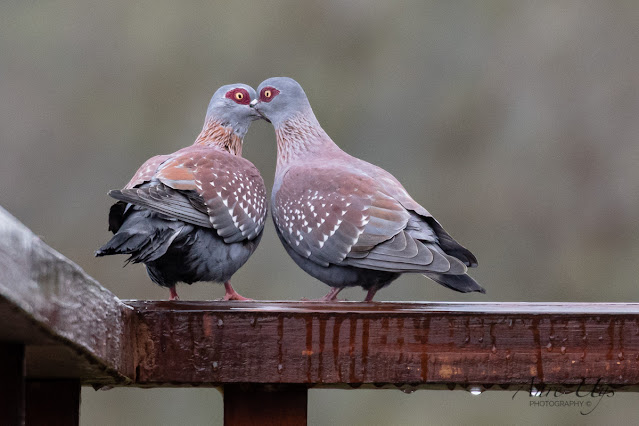 Speckled Pigeons courting