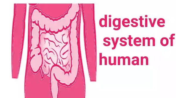 How to enhance digestive system rapidly, at any season?