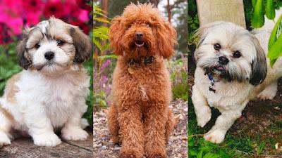 Teddy Bear Dog Breed Information