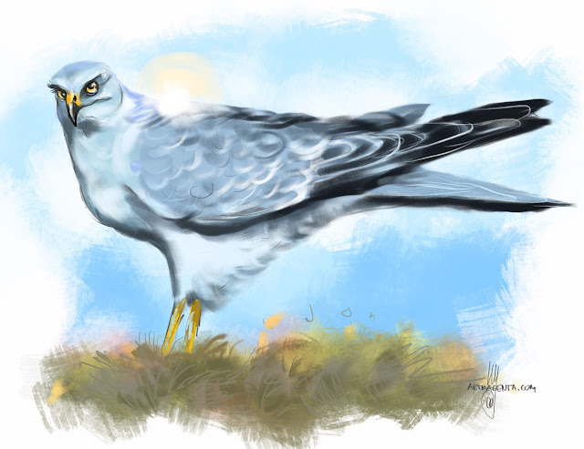 Pallid harrier bird painting by Artmagenta