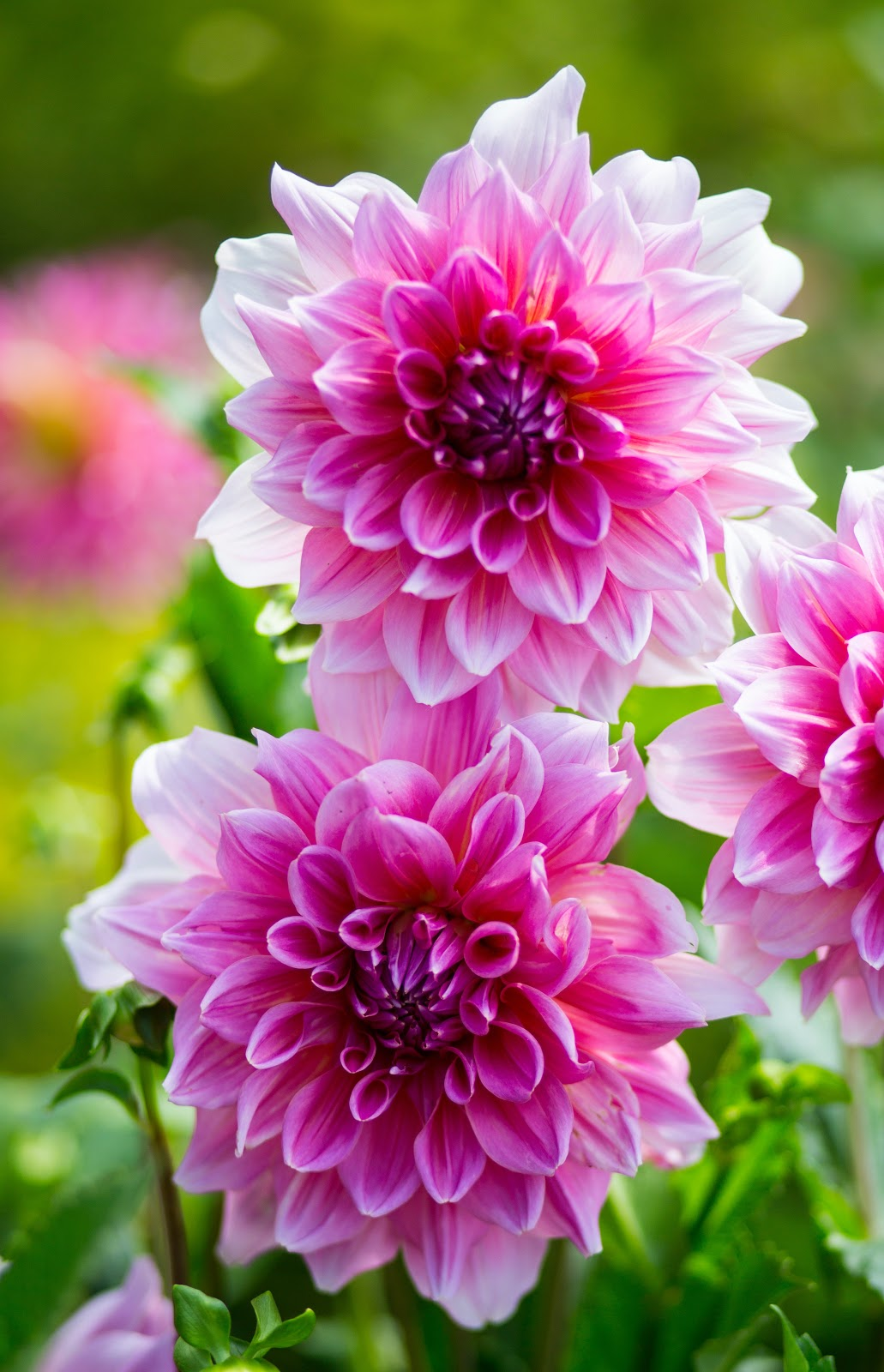pink-flower, flower pictures