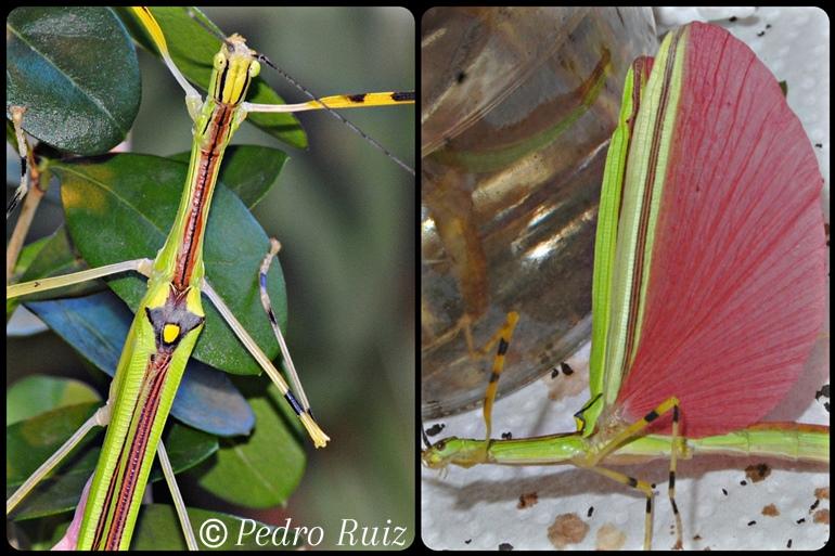 Detalle de las alas de una hembra de Anarchodes annulipes