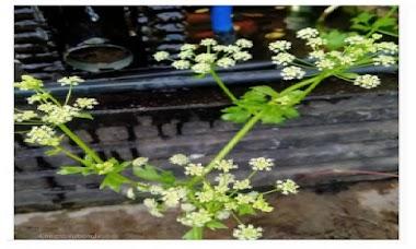Manfaat daun seledri untuk batu ginjal