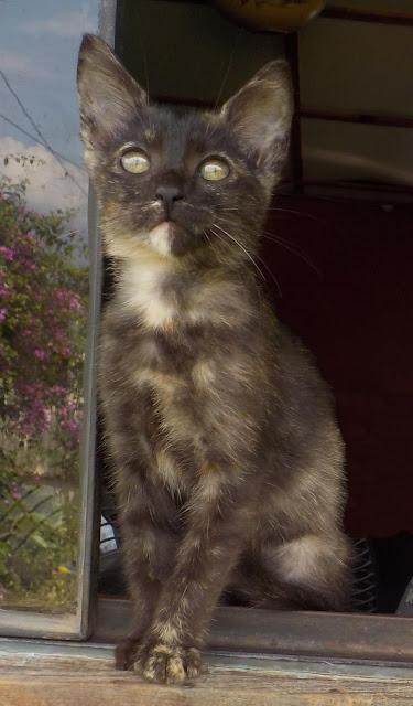 tortoiseshell kitten tortie cat