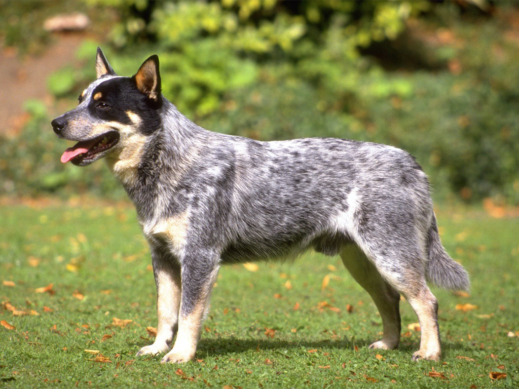 Australian Cattle Dog Australian Cattle Dog The Life Of Animals