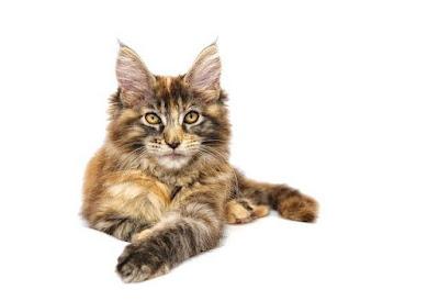 قط ماين كون! Maine coon cat