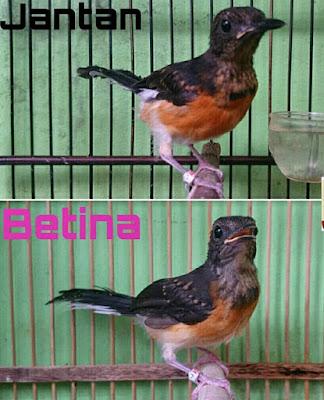 Murai Batu merupakan salah satu jenis burung orisinil Indonesia Ciri - Serta Perbedaan Jantan dan Betina Burung Murai Batu