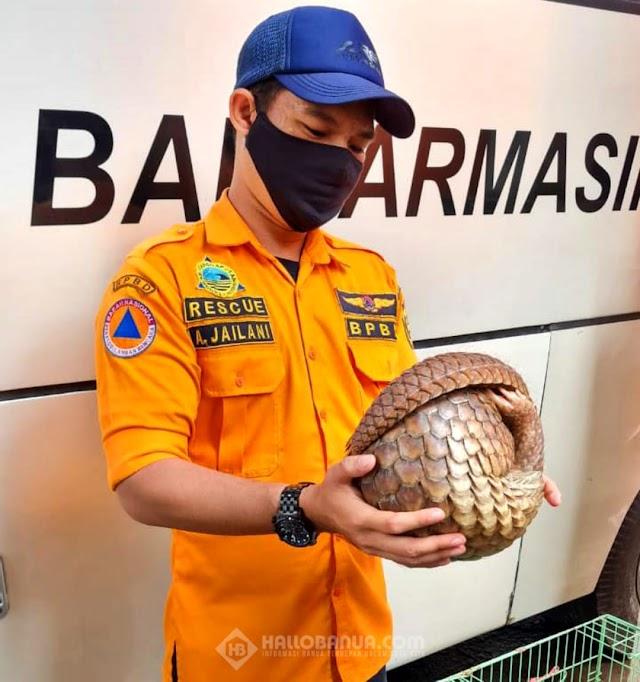 Trenggiling Masuk ke Pemukiman, Kagetkan Warga di Alalak Barito Kuala