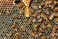 ternak paling menguntungkan, hewan paling menguntungkan, ternak menguntungkan di lahan sempit, lebah, madu