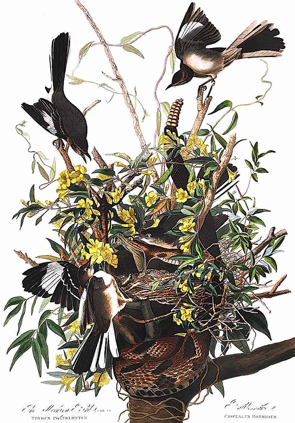 a zoological illustration of a snake attacking a birds nest,  1900?