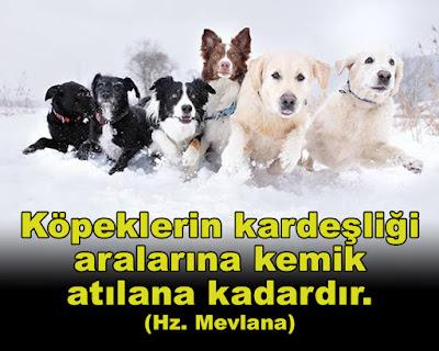 """""""Köpeklerin kardeşliği, aralarına kemik atılana kadardır."""" (Hz. Mevlana), menfaat, çıkar çatışması, köpekler, kangal, kaniş, evcil hayvan, kar yağışı, sevimli köpekler, sevimli dostlar, dostluk, kemik, güzel sözler, özlü sözler, anlamlı sözler, günün sözü"""