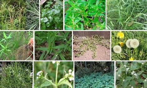 Mendengar Nama tanaman ini mayoritas menganggapnya sebagai musuh yang harus dibasmi keaka Hitam Putih Rumput Dalam Dunia Tanaman