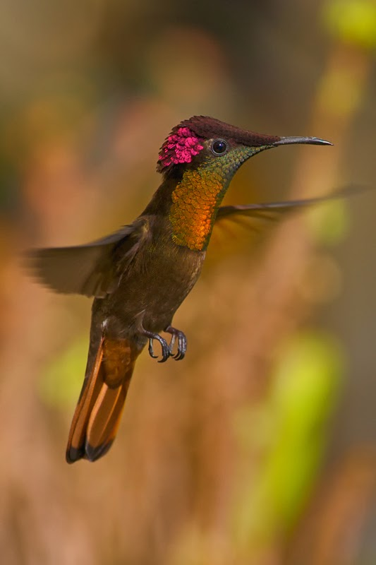 Amazing incredible hummingbird flying