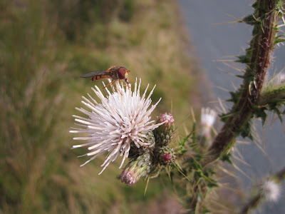 Cirsium palustre - Marsh Thistle (white)