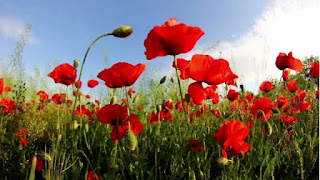 Rare benefits of red poppy tea that you never knew existed