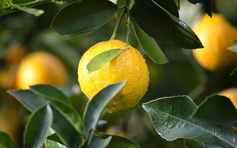 Grow Meyer lemon trees Citrus x meyeri indoors year round