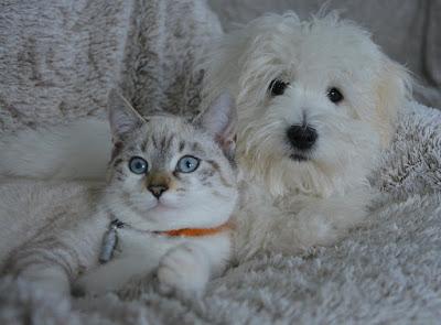 Bichon maltes mimoso con los gatos