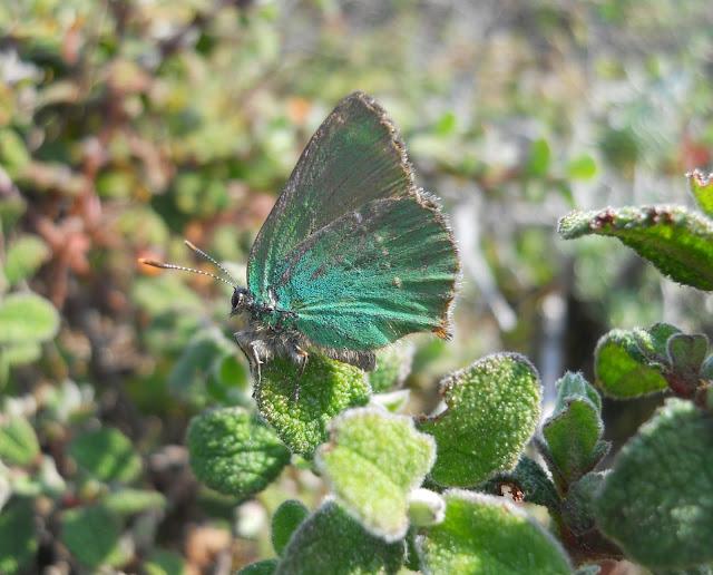 Mariposa Callphrys rubi