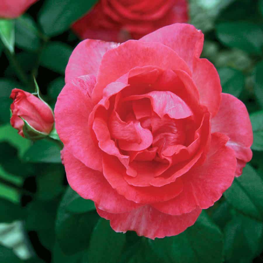 Những lợi ích tuyệt vời của nước hoa hồng