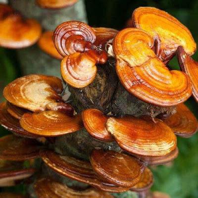 Ganoderma mushroom farming training in Radhanagari