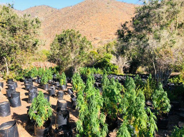 Plantación de cannabis sativa