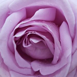 Mawar lavender berarti fantasi, dongeng, pesona