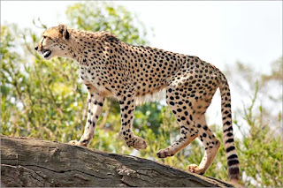 NTCA States that Cheetahs Kept at Nauradehi Sanctuary