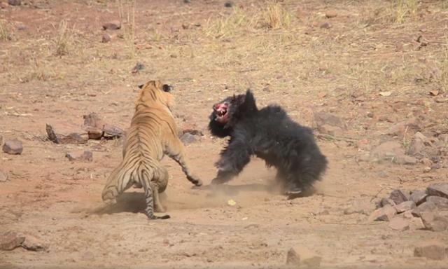 Viral video: «Επική» μάχη ανάμεσα σε τίγρη και αρκούδα: Ποια κέρδισε;