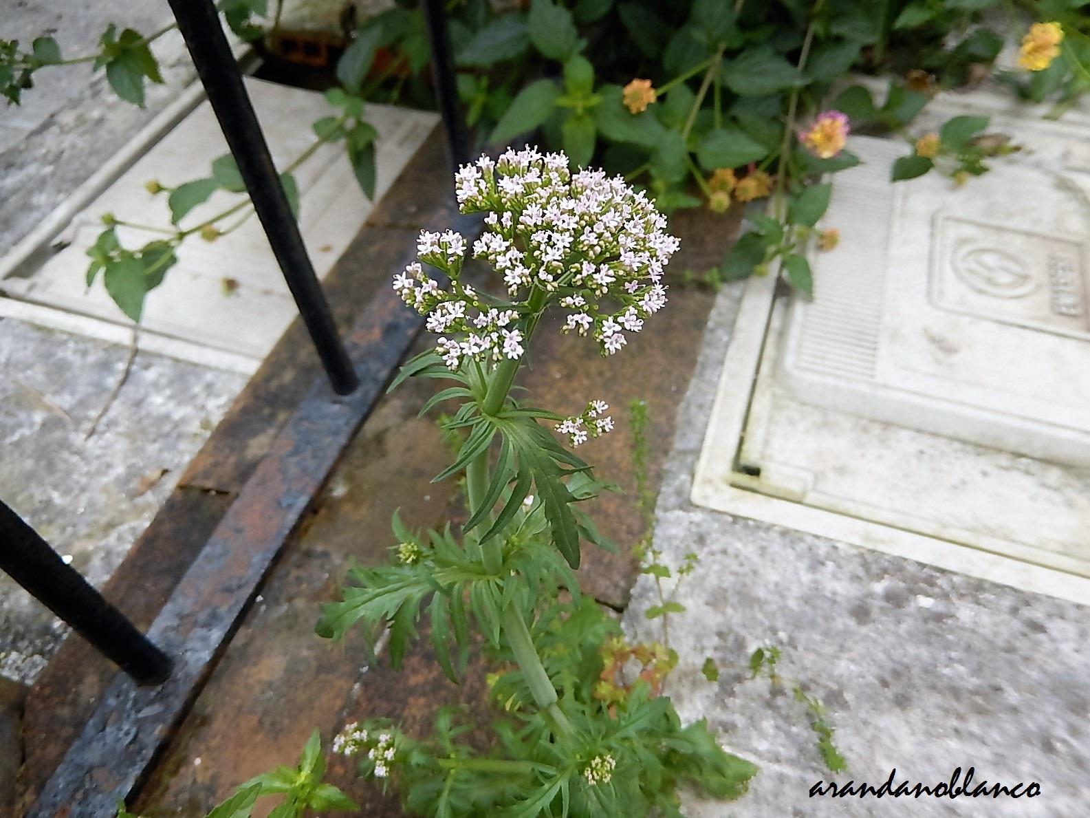 Arbustosensevilla encinarosa malas hierbas commelina - Calle rafael salgado ...