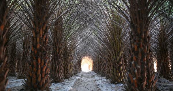 《台中.大肚》大肚中東海棗田|落羽松森林|壯觀挺拔又整齊像隧道,漂亮好拍
