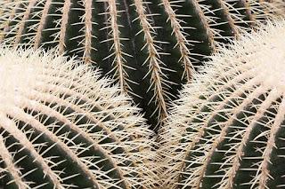 Zielony kaktus kula