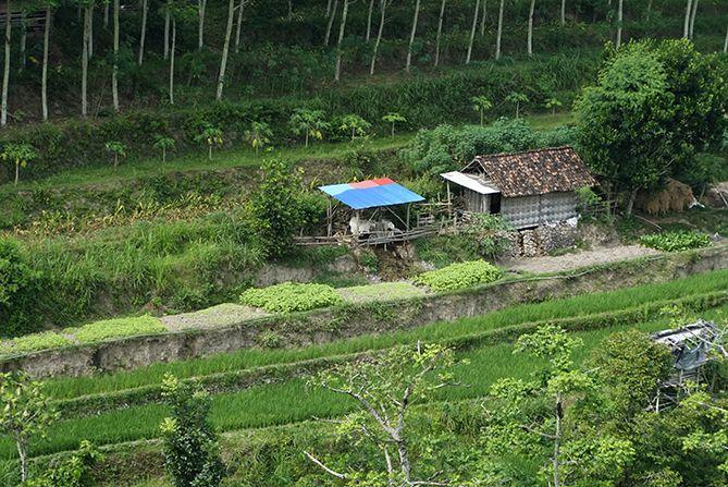 Kandang sapi milik warga di dekat persawahan