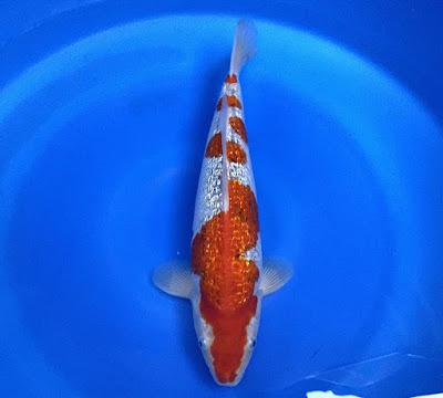 Ikan Koi Jenis Ginrin